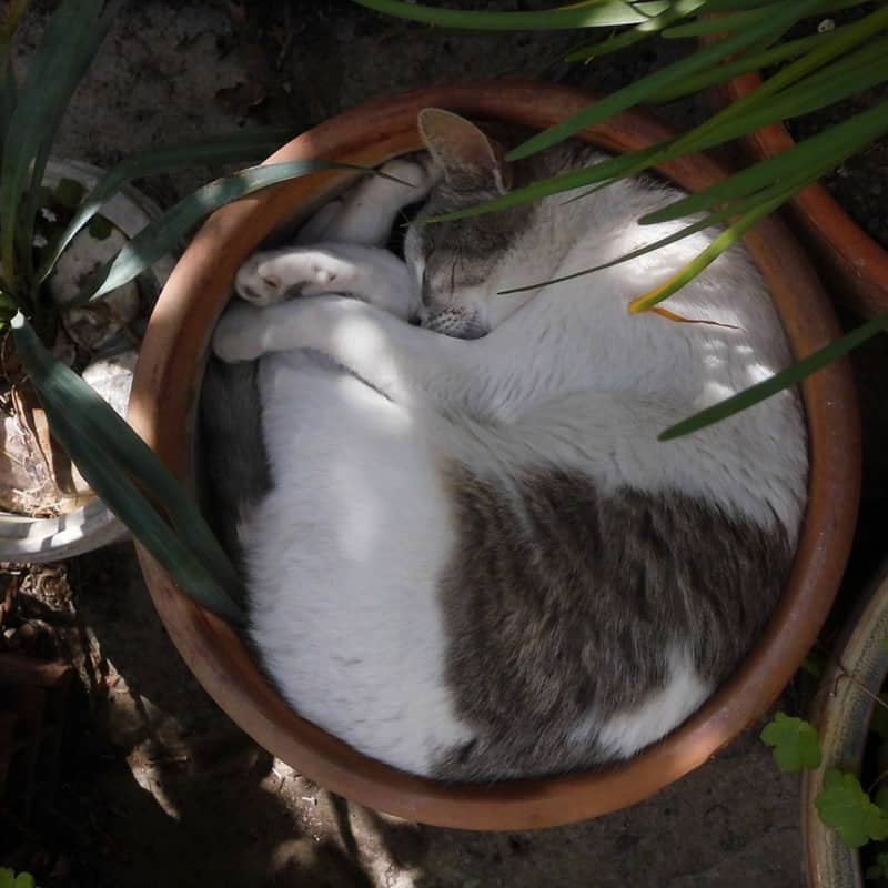 Black and grey cat curled up in a flowerpot - hiding from humans