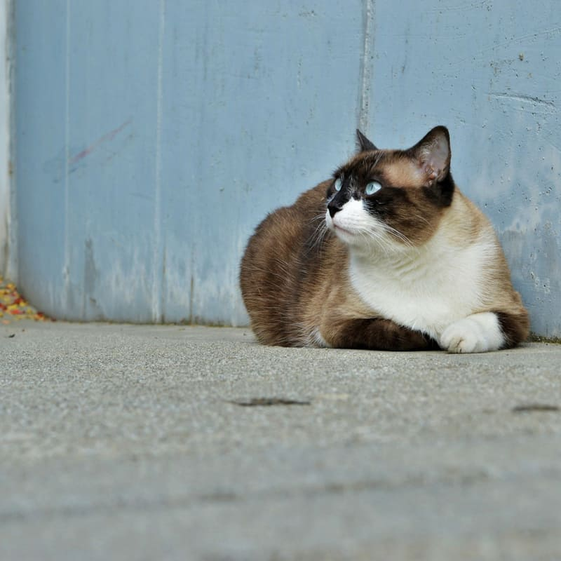 Calico cat sitting against blue wall