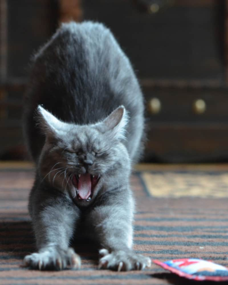 Grey fluffy can stretching and yawning with his sharp teeth on display