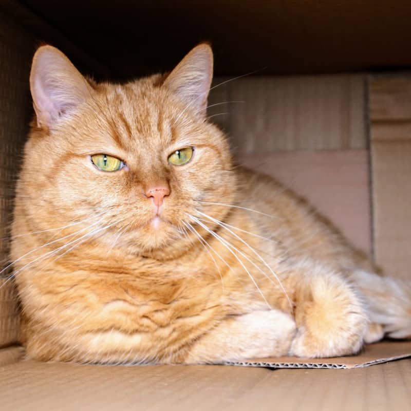 Ginger and white fluffy cat in a box