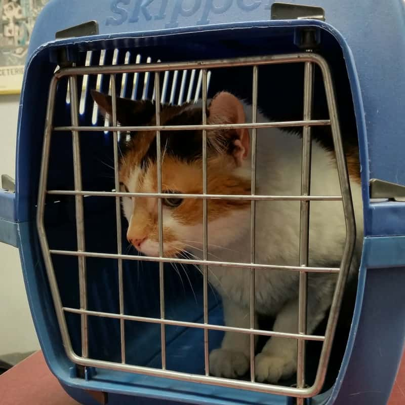 A white and calico cat inside a cat carrier