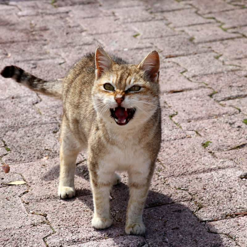 A tabby cat meowing