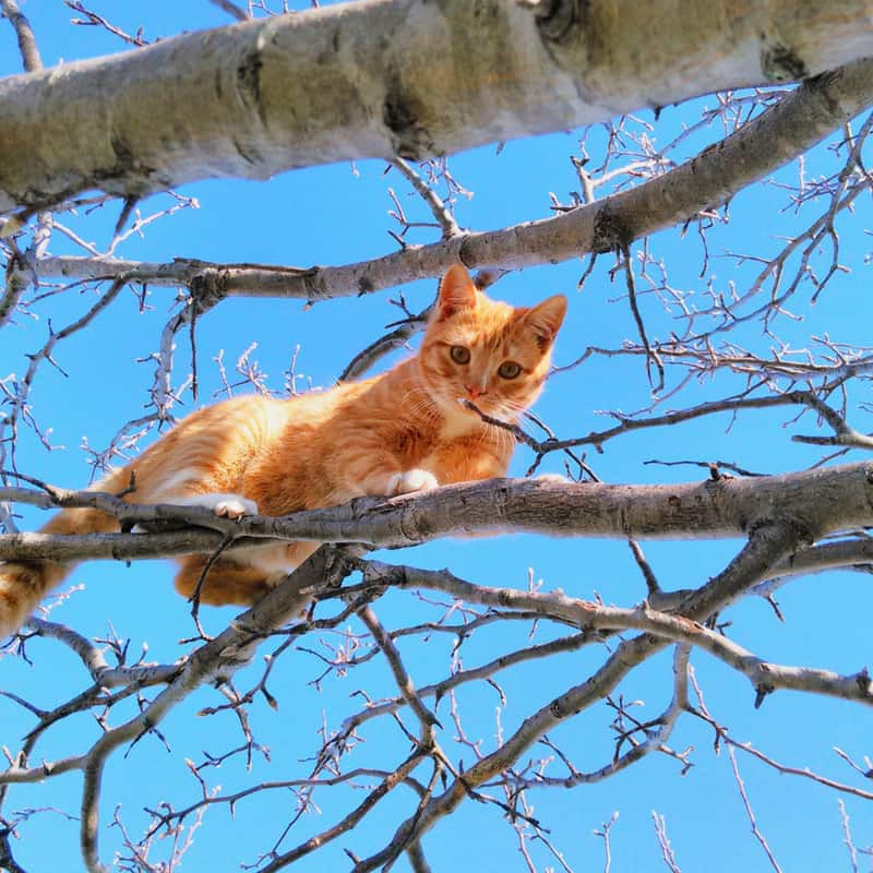 Ginger cat sits in a tree